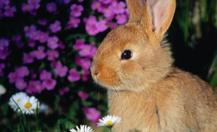 Cucinare il coniglio sar reato insorgono a ischia roma for Cucinare coniglio
