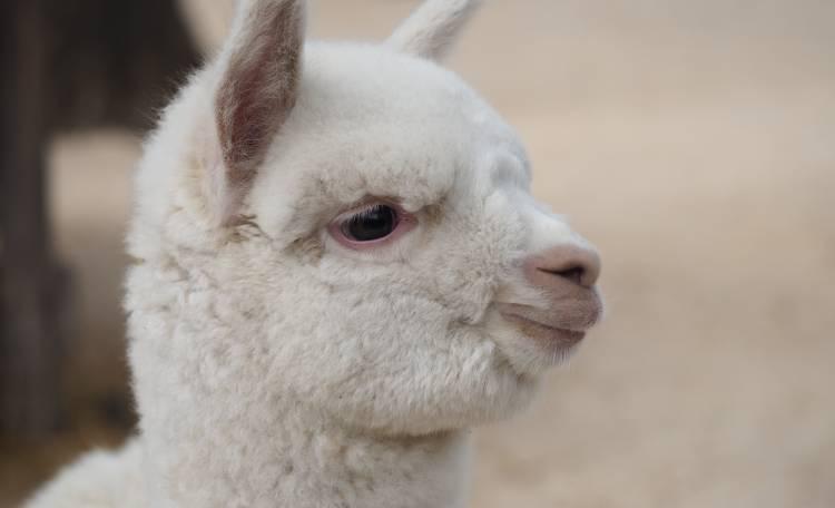 teo cucciolo di alpaca